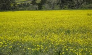 field of mustard