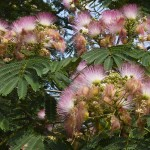 Banish Depression With the Tree of Happiness (Albizia Julibrissin)