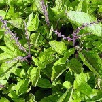 Holy Basil is a Clinically Proven Antioxidant, Cancer Fighter, Neuropathy Healer, and Anti-microbial