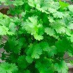 Coriander Oil (Cilantro) Can Be Used to Treat Food Poisoning and Drug-Resistant Infections