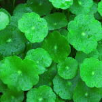 Gotu Kola: Ancient Indian Herb to Expand Consciousness and Health