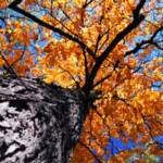 Plant Medicine: Slippery Elm Bark – Heal the Digestive Tract