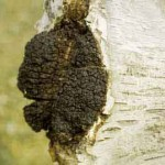 Chaga Mushroom is a Powerful Anti-Cancer and Immune System Tonic