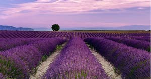 essential-oil-fields-lavender-small-300