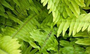 boston-fern-indoor-small-300