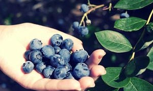 handful-of-blueberries-harmony-with-nature-small-300