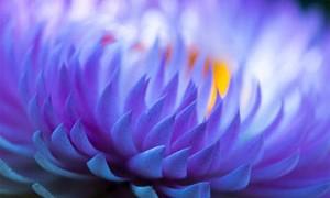 purple-lotus-petals-flower-small-300