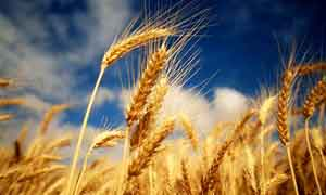 wheat-small-300