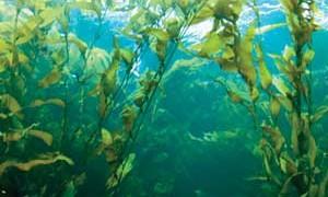 giant_kelp-small-300