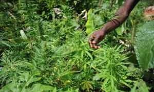 marijuana-small-300