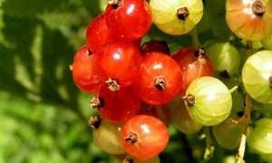 schizandra-berry-small-300