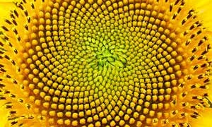 sunflower-sacred-geomtry-art-small-300