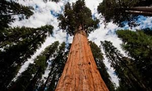 towering-sequoia-tree-sky-nature-small-300
