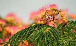 albizia-flowers-chinese-medicine-small-300