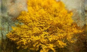 ginkgo-tree-incredible-health-benefits-oldest-tree-on-earth-small-300