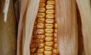 corn-small-300