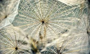 dandelion-meaning-life-small-300